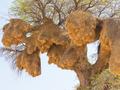 Communal Nests of Sociable Weaver Bird - PhotoDune Item for Sale