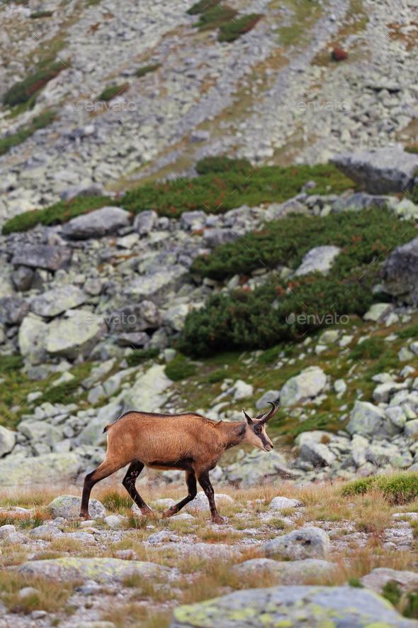Tatra chamois in Hight Tatras - Stock Photo - Images