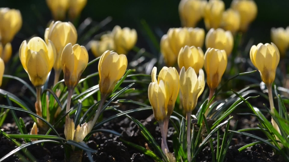 The yellow crocus flowers by ivankmit videohive play preview video mightylinksfo