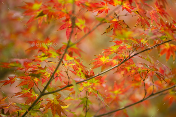 Autumnal foliage of ornamental Maple tree - Stock Photo - Images