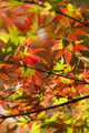 Autumnal foliage of ornamental Maple tree - PhotoDune Item for Sale