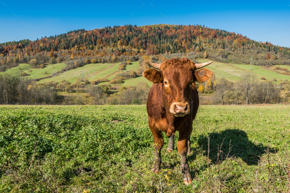 Cow grazing in green countryside - Stock Photo - Images