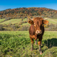 Cow grazing in green countryside - PhotoDune Item for Sale