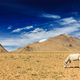 Horse grazing in Himalayas. Ladakh, India - PhotoDune Item for Sale