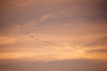 Flock of birds in sky before sunset in evening - PhotoDune Item for Sale