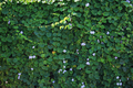 Background of blue trumpet vine flower - PhotoDune Item for Sale