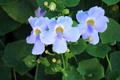 Blue Trumpet Vine flower, Laurel clock vine - PhotoDune Item for Sale