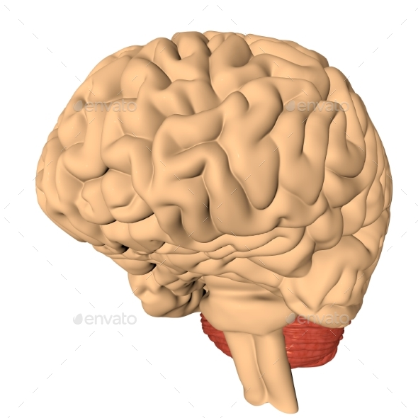 Human Brain 3D Render - Objects 3D Renders