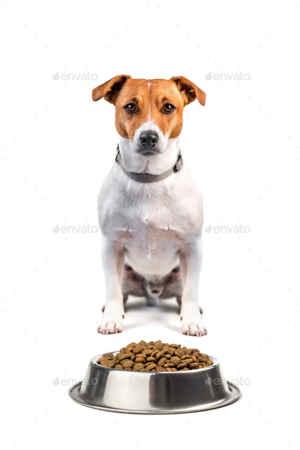 jack russel with food - Stock Photo - Images