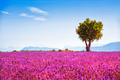 Lavender and lonely tree uphill. Provence, France - PhotoDune Item for Sale