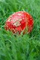 Amanita Muscaria in green grass - PhotoDune Item for Sale