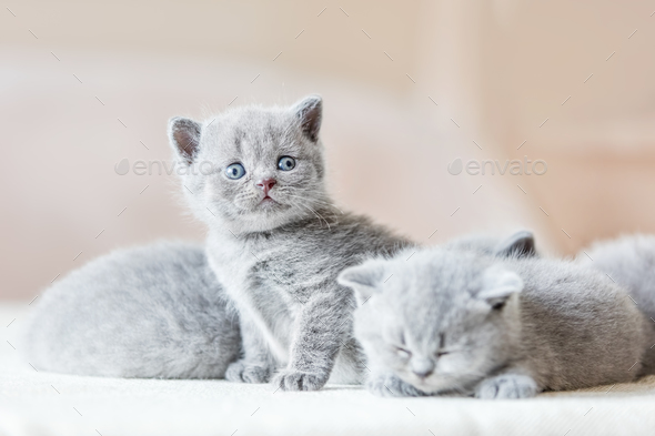 Bunch of little grey cats. British shorthair. - Stock Photo - Images