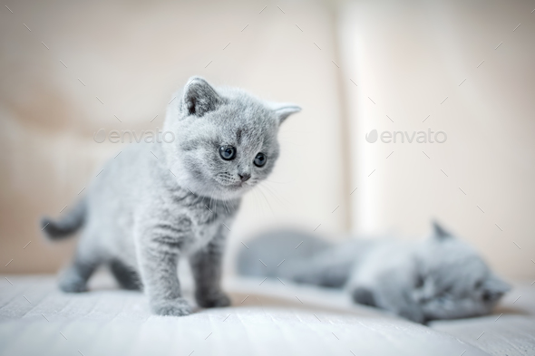Two little british shortcut kittens. - Stock Photo - Images