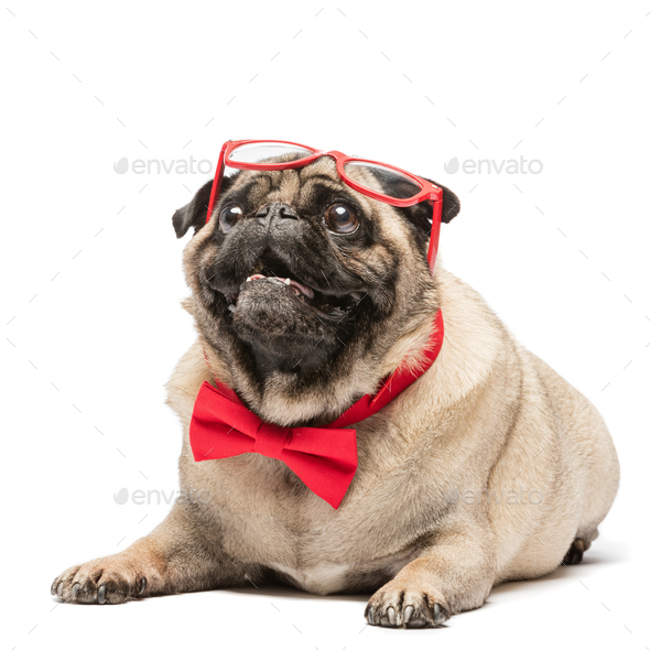 Cute pug dog in red bowtie and glasses. - Stock Photo - Images