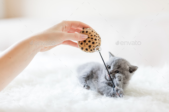 Kitten playing with a toy. - Stock Photo - Images