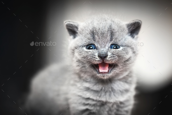 Cute kitten meows. British Shorthair cat - Stock Photo - Images