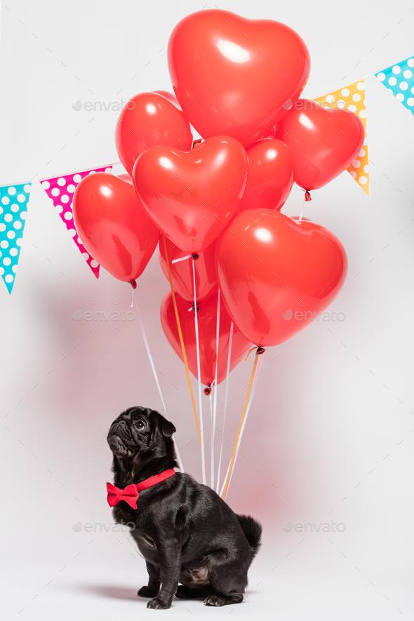 Black pug dog with heart-shaped baloons. - Stock Photo - Images