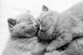 Two sleeping cats snuggling. British shorthair. - PhotoDune Item for Sale
