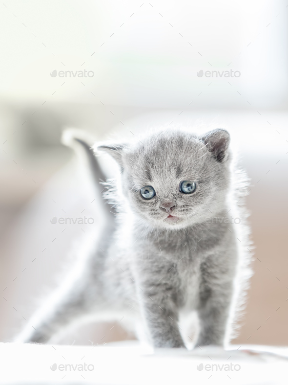 Furry grey standing cat. British shorthair. - Stock Photo - Images