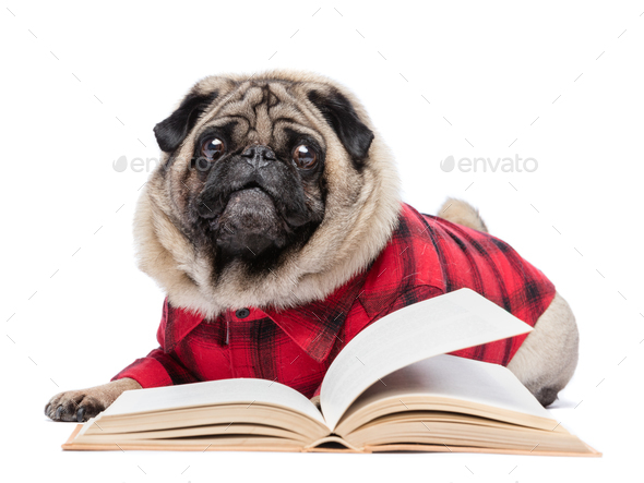 Fluffy pug dog laying by the open book. - Stock Photo - Images