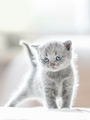 Furry grey standing cat. British shorthair. - PhotoDune Item for Sale