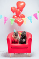 Two pugs dogs with birthday decorations. - PhotoDune Item for Sale