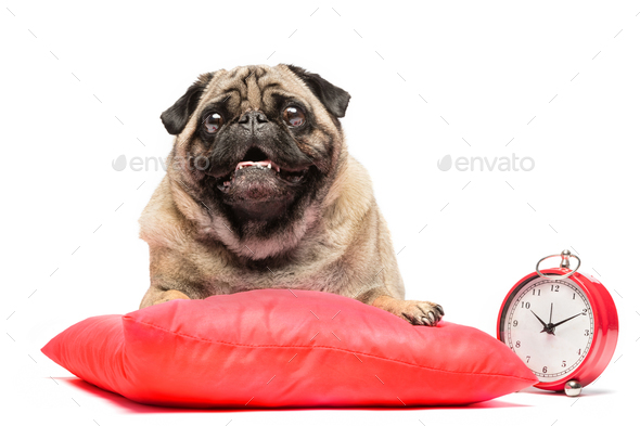 Pug dog laying on a red pillow with a clock. - Stock Photo - Images