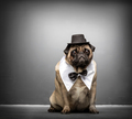 Sir pug gazing adorably. Dog portrait. - PhotoDune Item for Sale