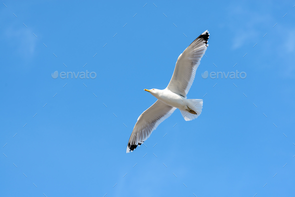Flying seagull on blue sky. - Stock Photo - Images