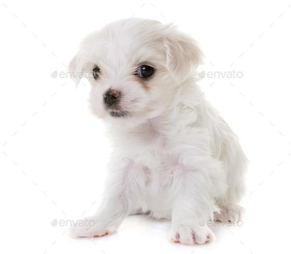 puppy maltese dog - Stock Photo - Images