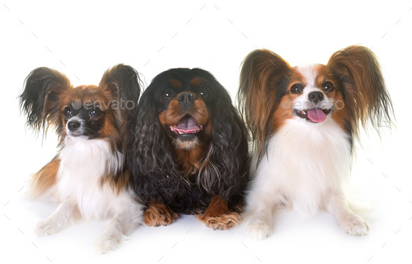 cavalier king charles and papillon dogs - Stock Photo - Images