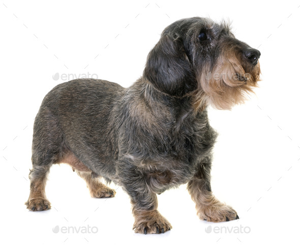 dachshund in studio - Stock Photo - Images