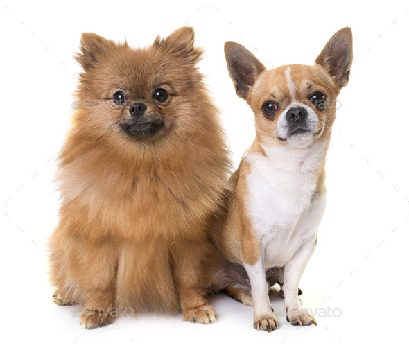 young chihuahua and spitz - Stock Photo - Images