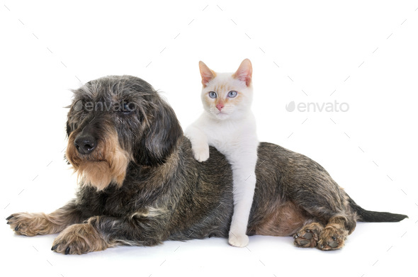 dachshund and kitten - Stock Photo - Images