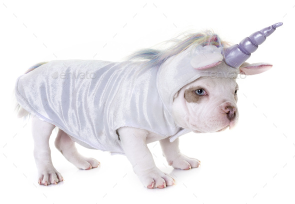 puppy american bully unicorn - Stock Photo - Images