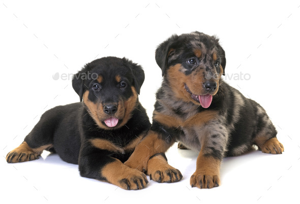 puppies beauceron in studio - Stock Photo - Images