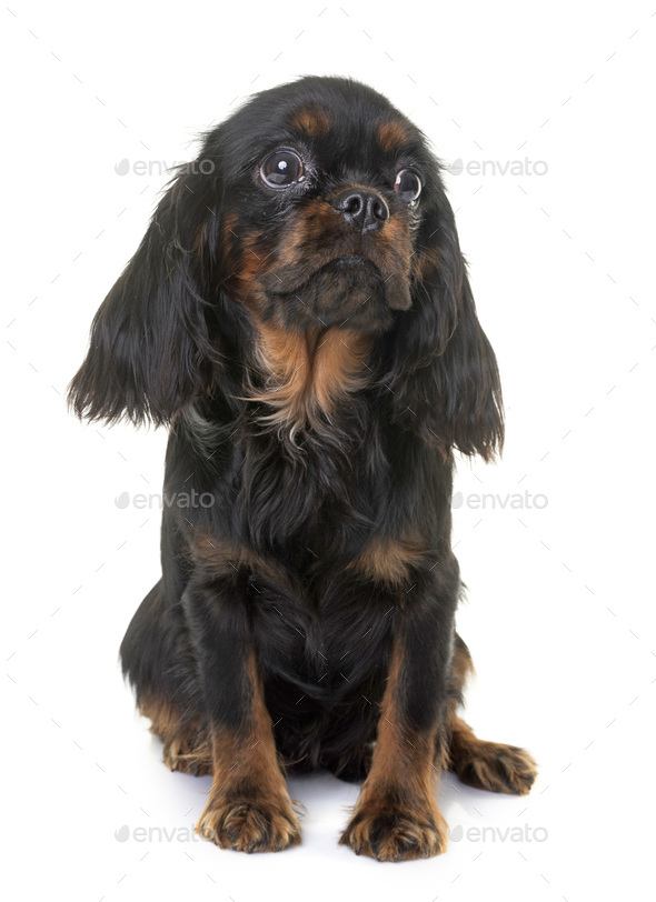 puppy cavalier king charles - Stock Photo - Images