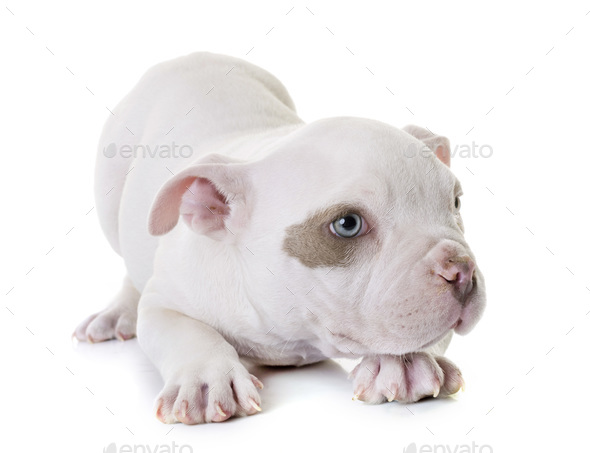 puppy american bully - Stock Photo - Images