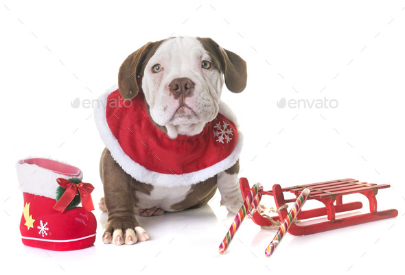 puppy american bully and christmas - Stock Photo - Images