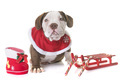 puppy american bully and christmas - PhotoDune Item for Sale