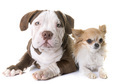 puppy american bully and chihuahua - PhotoDune Item for Sale