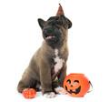puppy american akita and halloween - PhotoDune Item for Sale