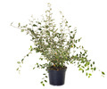 Cotoneaster in pot - PhotoDune Item for Sale