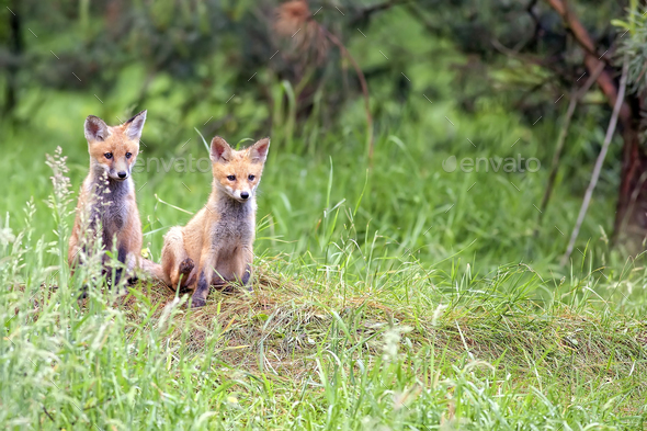 Foxes in the forest  - Stock Photo - Images