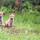 Foxes in the forest  - PhotoDune Item for Sale