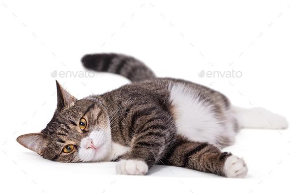 Big gray cat lazily lying - Stock Photo - Images