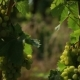 Green Grapes in the Shade of Its Leaves - VideoHive Item for Sale