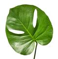 green tropical leaf - PhotoDune Item for Sale