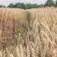 Dry Golden Wheat Spikes in a Filed. - VideoHive Item for Sale