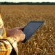 Man Examines the Field of Grain - VideoHive Item for Sale